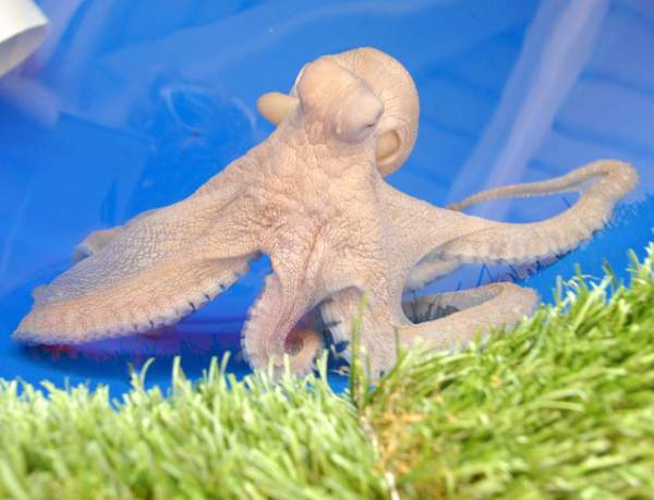 WHT_Octopus picture